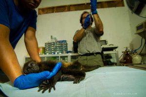 Saving baby howler