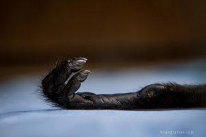Sedated spider monkey