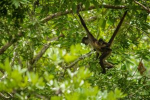 Saving Infinity - Spider monkey with baby