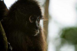Saving Infinity - Staring spider monkey